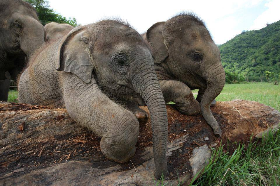 elephants on log